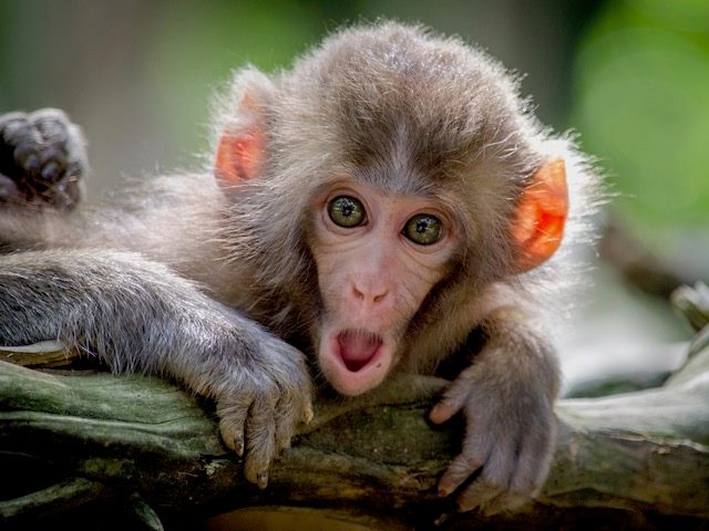 a shocked looking monkey with open mouth