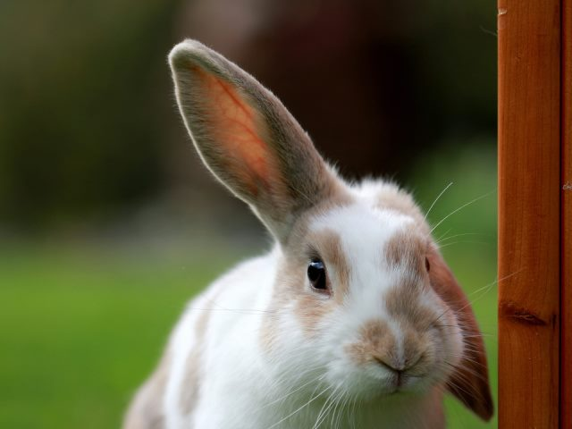 white and brown rabbit looking at the camera with one ear up and one ear down