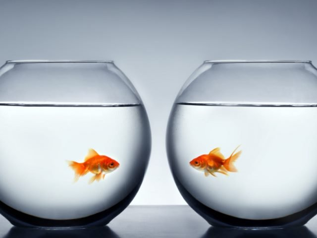 Two goldfish in a separate fish bowls looking at each other against a white background