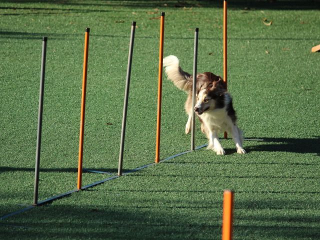 A dog running through an agility course - agile business concept