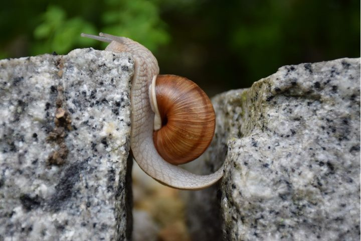 snail struggling to crawl across a gap between two rocks