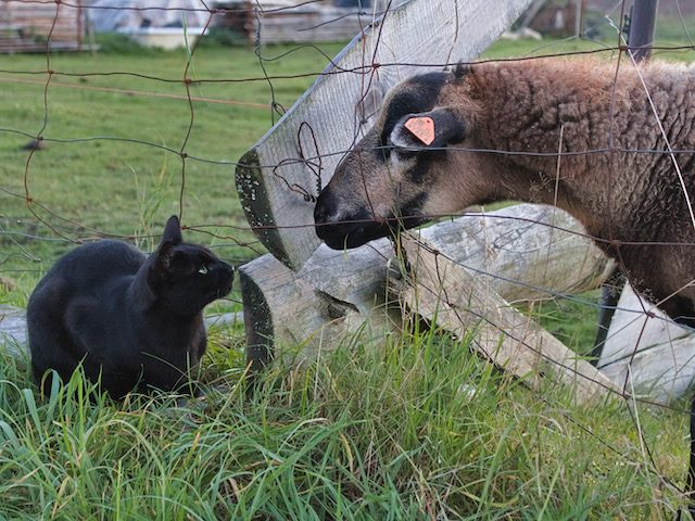 cat and sheep having a moment