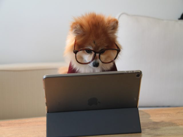 Pomeranian dog looking at an ipad