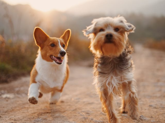 two brown and white dogs running on a dirt road during the daytime