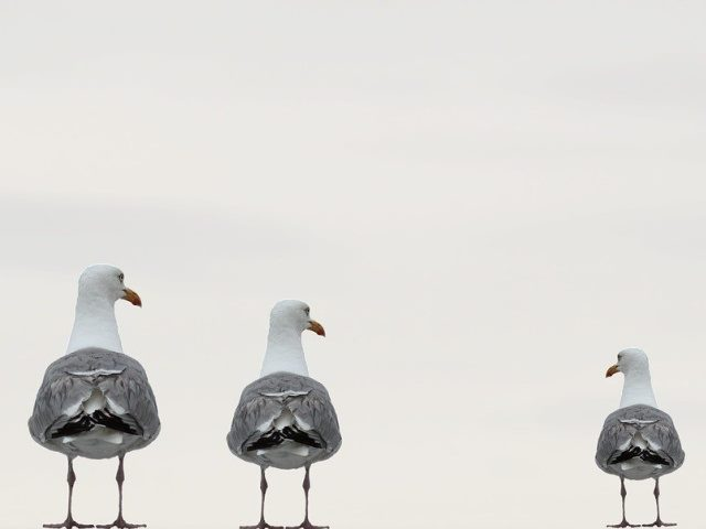 three sea gulls in a line from largest to smallest